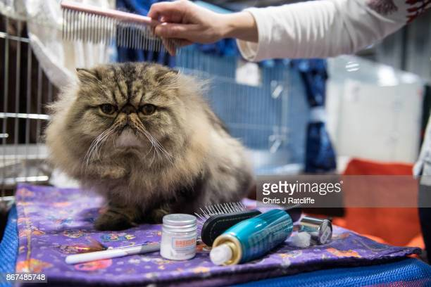 A woman brushes and grooms a Persian cat during the Supreme Cat Show on October 28 2017 in Birmingham England The oneday Supreme Cat Show is one of...