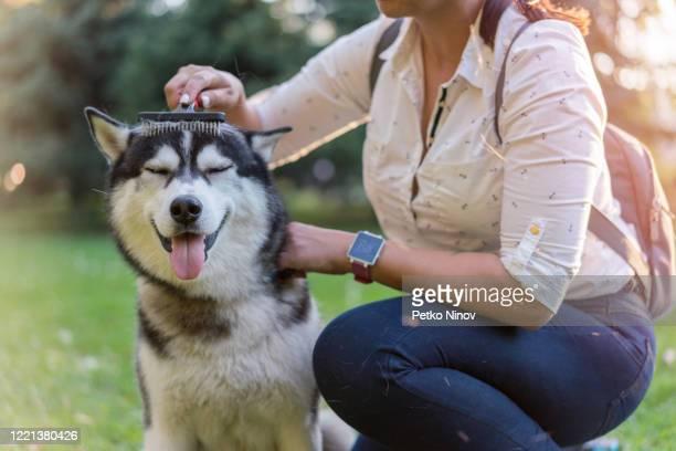 公園で彼女の犬をブラッシング女性 - シベリアンハスキー ストックフォトと画像