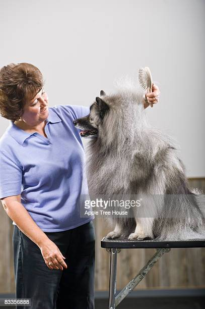 Woman brushing Keeshond dog on table