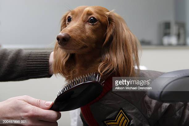 woman brushing red long haired dachshund - pampered pets stock pictures, royalty-free photos & images