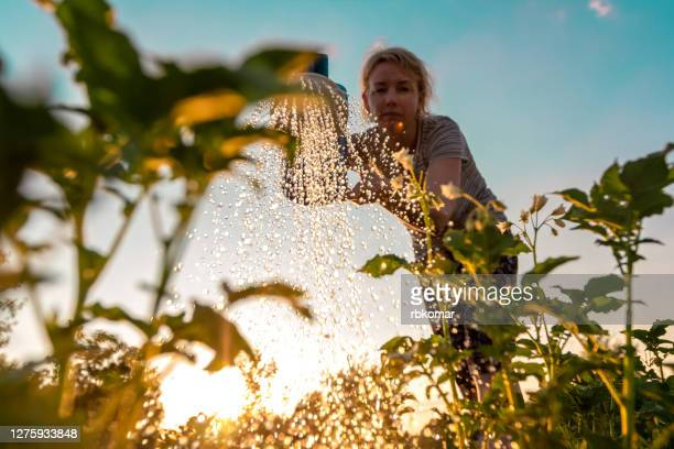 woman cares for plants, watering green shoots from a watering can at sunset. farming or gardening concept - jardinagem - fotografias e filmes do acervo
