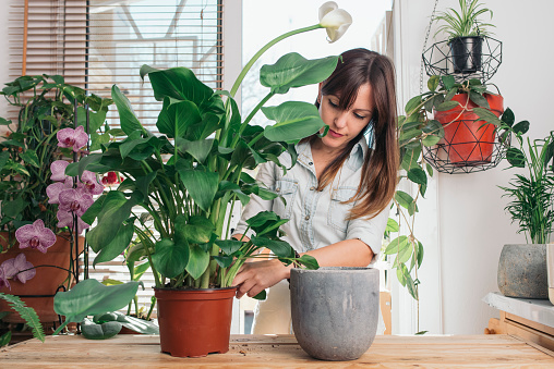 Woman caring for a peace lily - gettyimageskorea