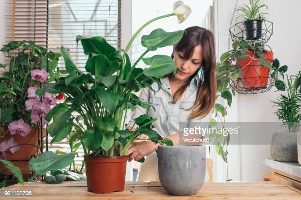 woman caring for a peace lily - blumentopf stock-fotos und bilder