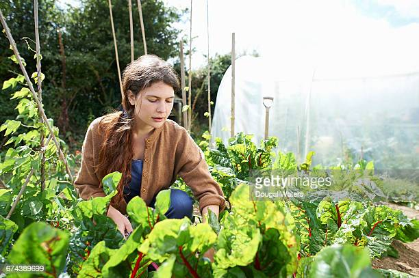 Woman caring to vegetables on allotment.