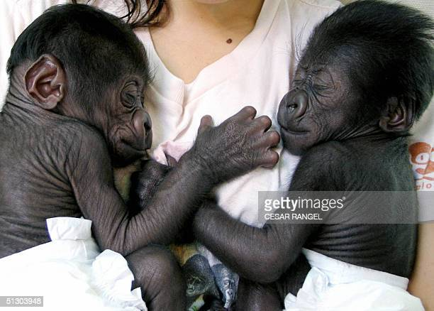 A woman carries a pair of black twin gorillas born 26 August at Barcelona's Zoo 14 september 2004 Kena one of Snowflake's daughters gave birth to...