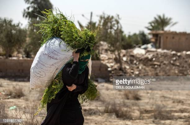 Woman carries on her back freshly harvested grass for cattle as she walks in front of houses damaged by heavy fighting in the village of Baghouz in...