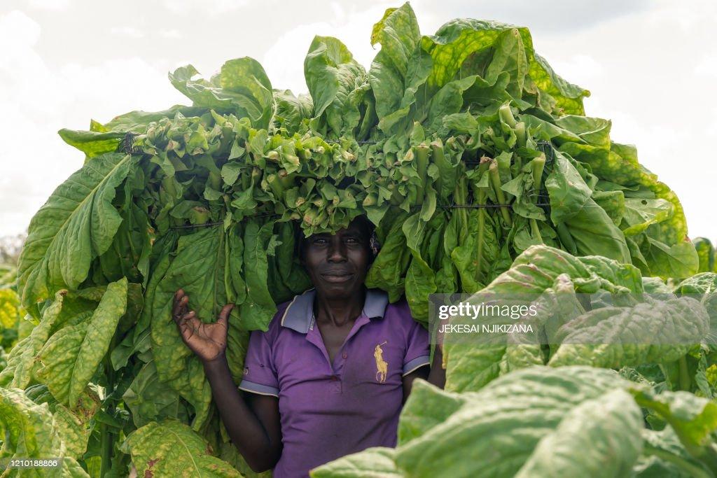 ZIMBABWE-HEALTH-VIRUS-ECONOMY-TOBACCO : News Photo