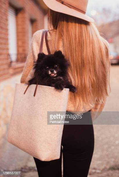 woman carrying a small pomeranian dog in a purse - handbag stock pictures, royalty-free photos & images