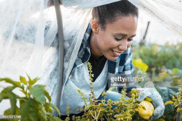 woman checking her peppers in the garden - black glove stock pictures, royalty-free photos & images