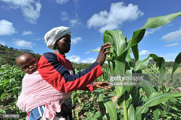 MARAWANYIKA A woman checks maize crop on a small scale farm in Chinhamora about 50 km north of Harare on February 10 2011 For more than a decade most...