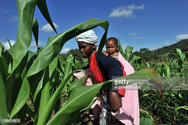 MARAWANYIKA A woman checks maize crops on a small scale farm in Chinhamora about 50 km north of Harare on February 10 2011 For more than a decade...