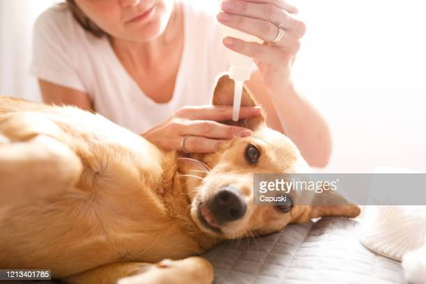 woman cleaning ear of the dog - ear stock pictures, royalty-free photos & images