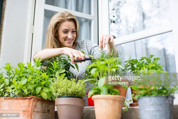woman clipping herb plants on windowsill - window sill stock pictures, royalty-free photos & images