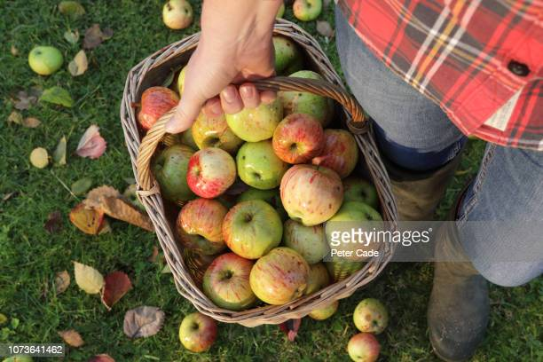 woman collecting basket of apples - apple stock pictures, royalty-free photos & images