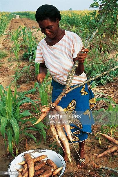 Woman collecting cassava roots Ghana