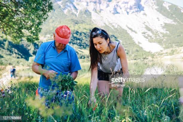 mujer recogiendo hierbas y flores en la naturaleza con su padre - mint plant family fotografías e imágenes de stock