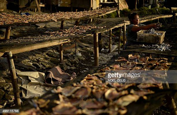 A woman collects dried fish in Manila Bay one of the Philippines' many typhoonvulnerable coasts on November 29 2015 The Philippines is among...