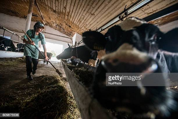 A woman collects hay in a cowshed at the Nikitin kolkhoz Ivanovka village Azerbaijan Ivanovka is a village with mainly Russian population which...