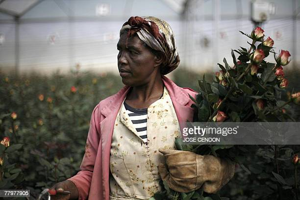 A woman collects roses 18 November 2007 at a flower farm in Holeta Ethiopia Aptly labelled 'black gold' by its growers coffee remained Ethiopia's top...