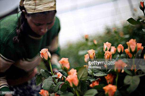A woman collects roses at Minaye Flowers Plc flower farm in Debre Zeit Oromia Ethiopia on Friday May 9 2008 Thanks to a government effort to create...