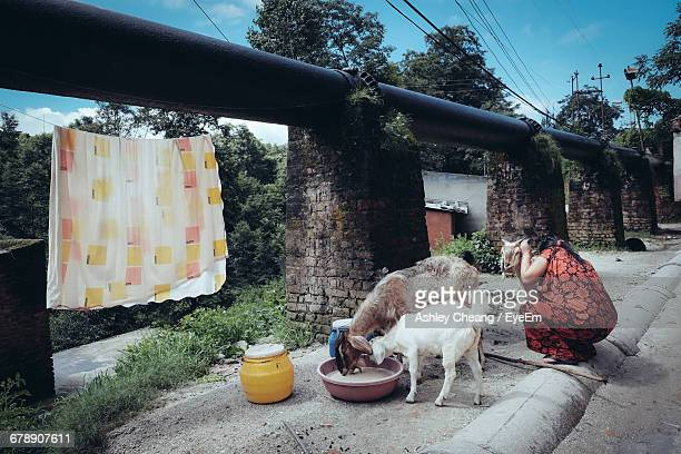woman crouching by goats - ashley lamb photos et images de collection