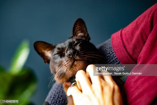 a woman cuddling / hugging a dark brown cat with green eyes - cat stock pictures, royalty-free photos & images