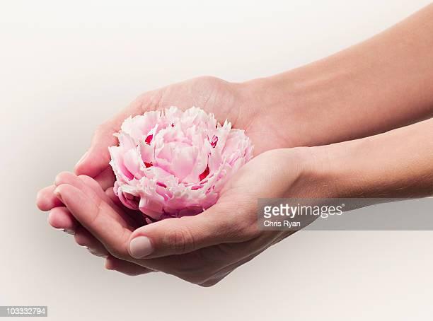 woman cupping pink peony - alleen één mid volwassen vrouw stockfoto's en -beelden