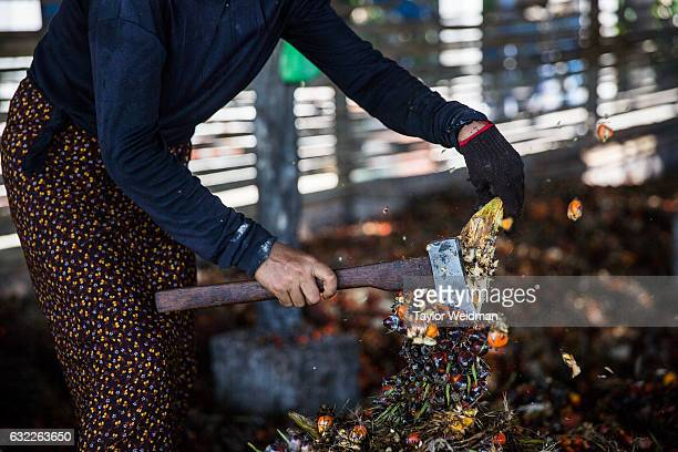 A woman cuts oil palm fruits away from the fruit bunch in an oil mill at Asia World on November 11 2016 in Bank Mae Village Myanmar