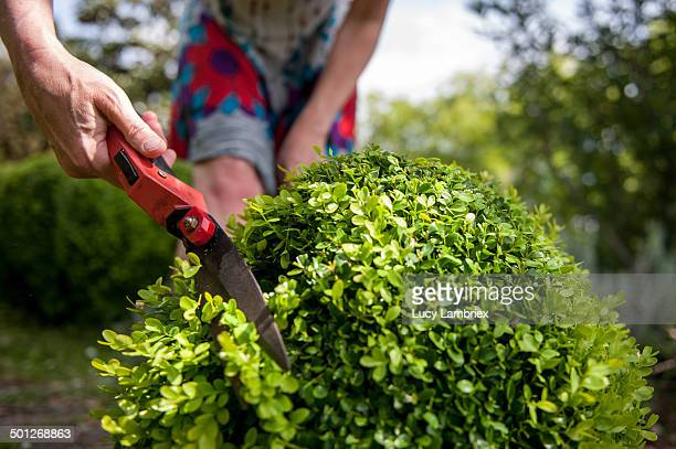 Woman cutting buxus shrub with hand shears.