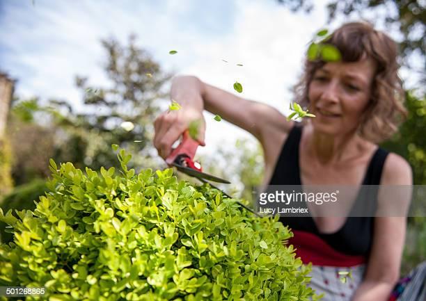 Woman cutting buxus shrubs with hand shears