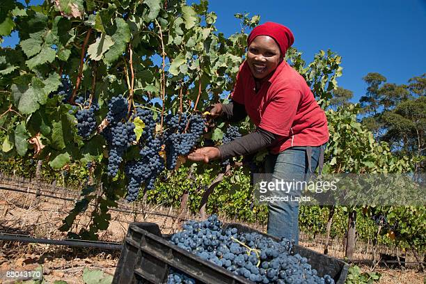 Woman cutting grapes from the vine