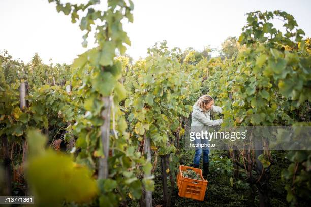 woman cutting grapes from vine in vineyard - heshphoto stock pictures, royalty-free photos & images