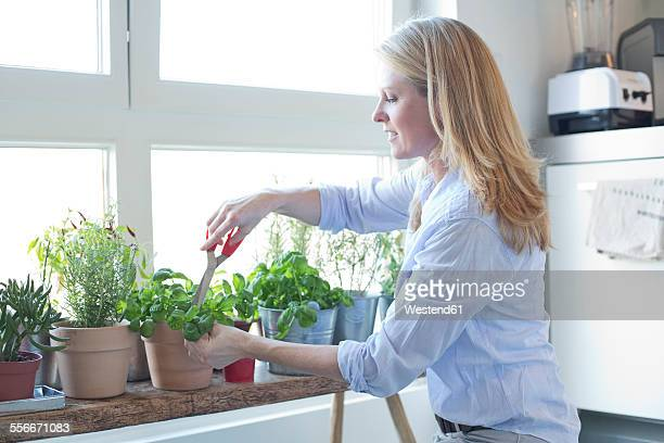 woman cutting herbs at the window - herbs stock photos and pictures