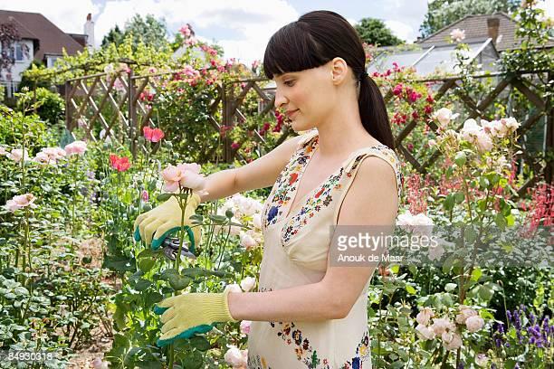 Woman cutting rose from rosebush