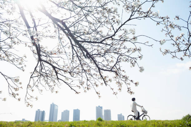A woman cycling past a bank of blooming cherry blossoms