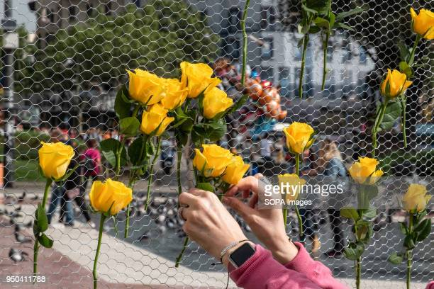 A woman deposits a yellow rose on the mural of yellow roses in memory of the Catalan political prisoners Catalunya celebrates the 'Day of Sant Jordi'...