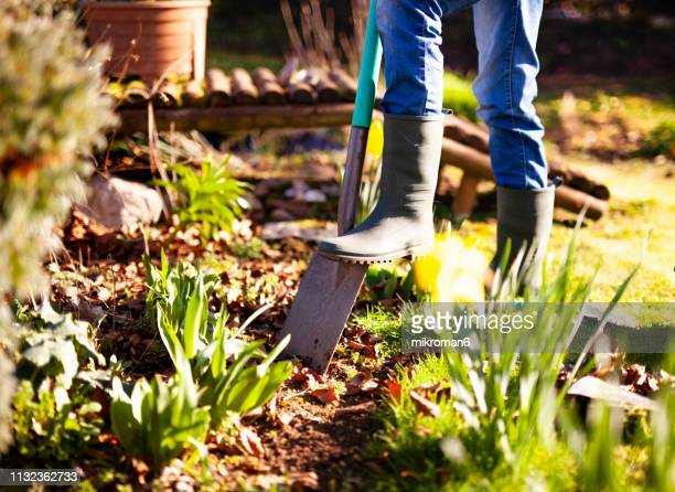 woman digging a hole in the garden with a spade - vegetable garden stock pictures, royalty-free photos & images