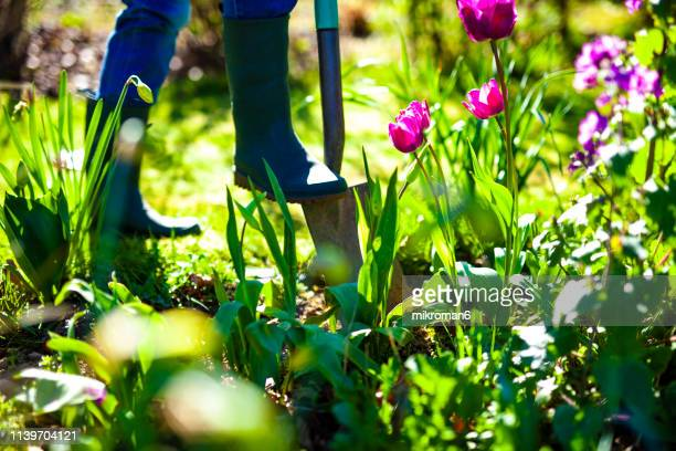 woman digging a hole in the garden with a spade - uncultivated stock pictures, royalty-free photos & images