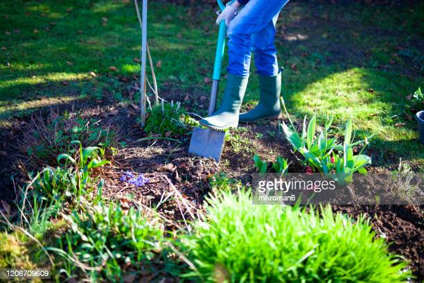 woman digging a hole in the garden with a spade - lawn stock pictures, royalty-free photos & images