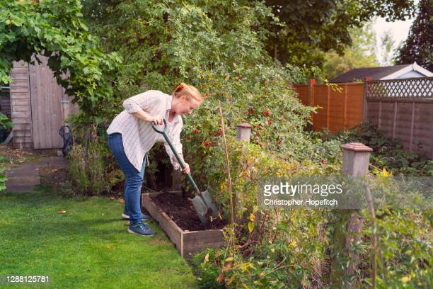 a woman digging compost into a raised bed - mature women stock pictures, royalty-free photos & images