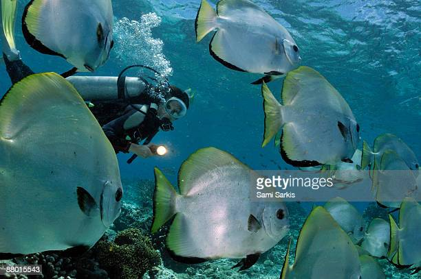 woman diving with school of batfish  - poisson avril photos et images de collection