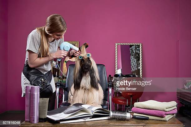 woman drying hair of longhair sighthound - groom stock pictures, royalty-free photos & images