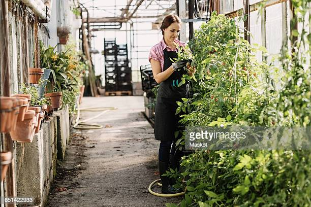 Woman examining the leaves of plants growing in greenhouse