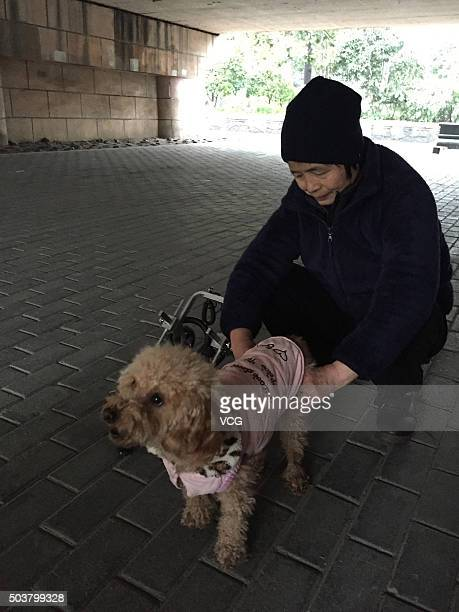 A woman exercises her pet dog on January 6 2016 in Hangzhou Zhejiang Province of China The host spent over 40000 RMB in her dog's operation of spinal...