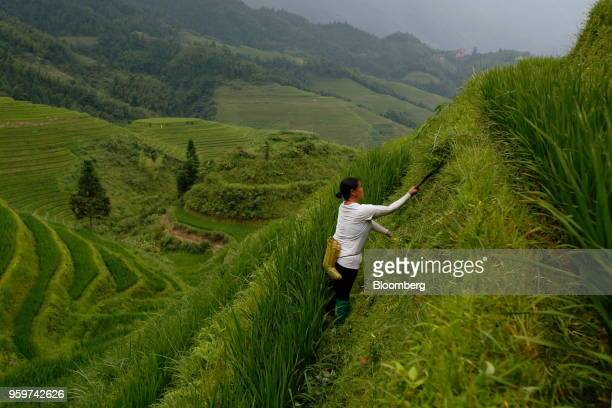 A woman farm worker uses a hand sickle to cut back unwanted growth on areas of the Longsheng rice terraces also known as the Longji rice terraces...