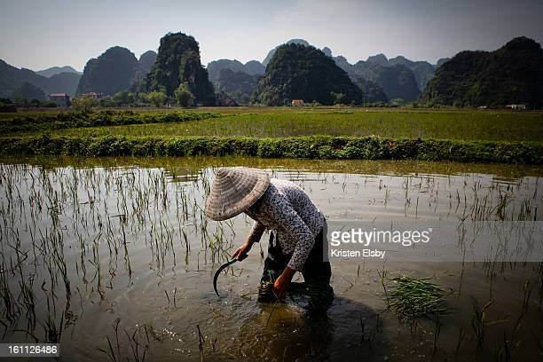 Woman farmer collects plants growing in the family rice fields located in a karst-filled area of central Vietnam .