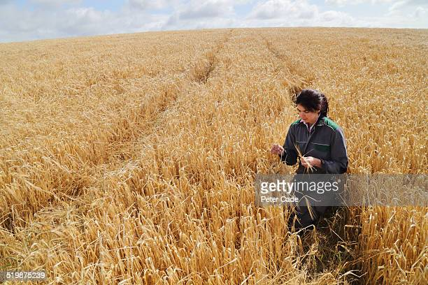 woman farmer in a field of wheat. - crop stock pictures, royalty-free photos & images