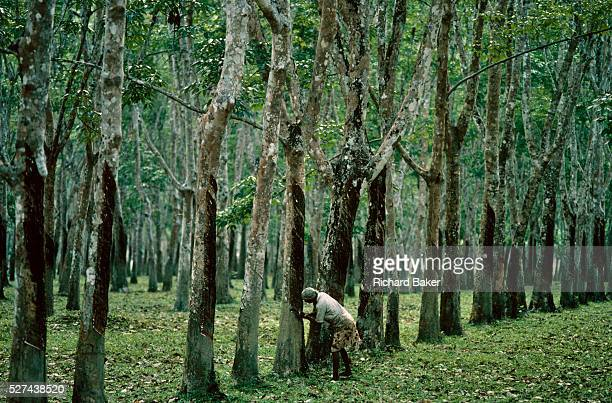 A woman farmer taps dripping resin from a rubber tree in a plantation on Pulau Langkawi Island Malaysia We see the lady surrounded by even rows of...