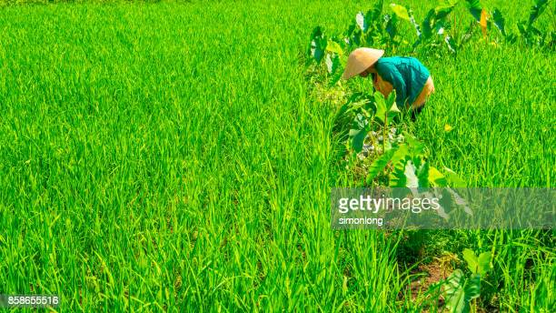 Woman farmer working in a rice field in Vietnam.