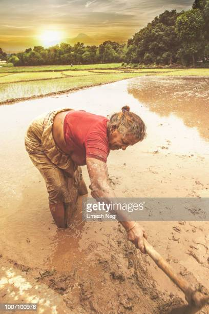 Woman Farmer Working In The Field With Hoe during the rice harvest